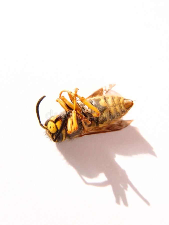 Guêpe-abeille photographie stock