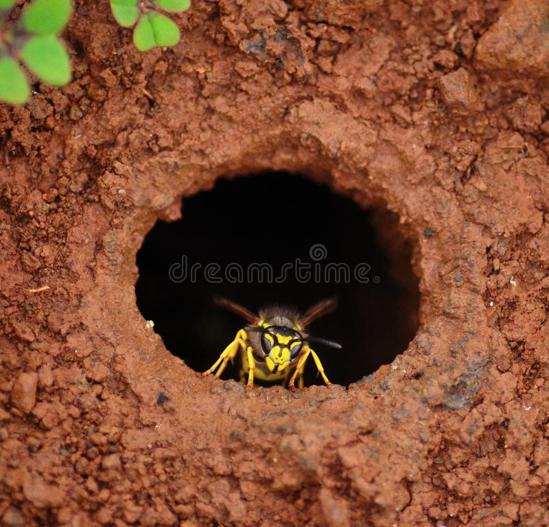 Guêpe dans le trou de sortie du nid souterrain photographie stock libre de droits