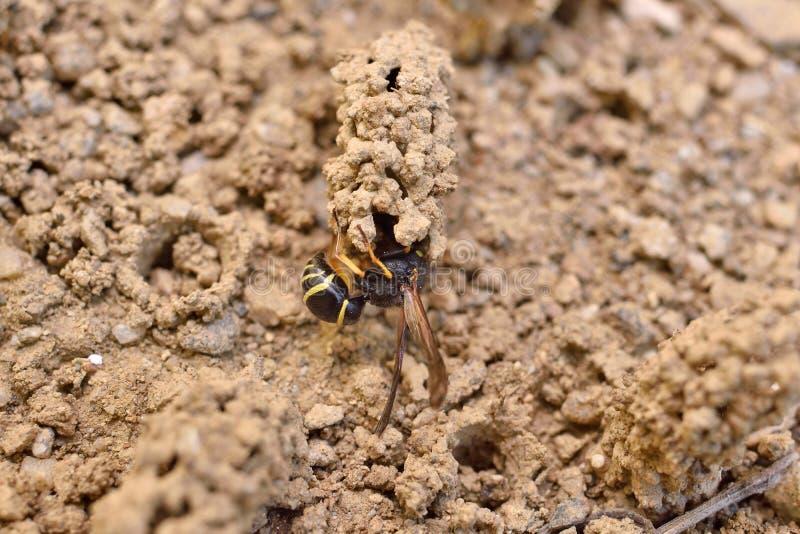 Guêpe de potier femelle construisant son nid image stock