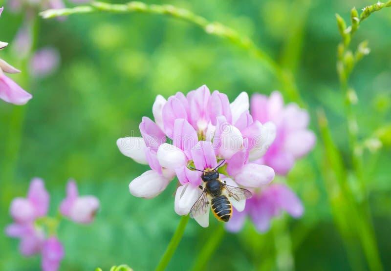 Guêpe de Tiphiid (fleur) sur la fleur d'été photographie stock libre de droits