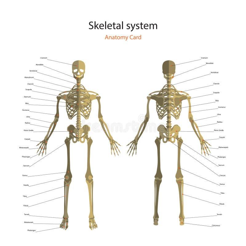 Guía De La Anatomía Del Esqueleto Humano Con Explicaciones Tablero ...