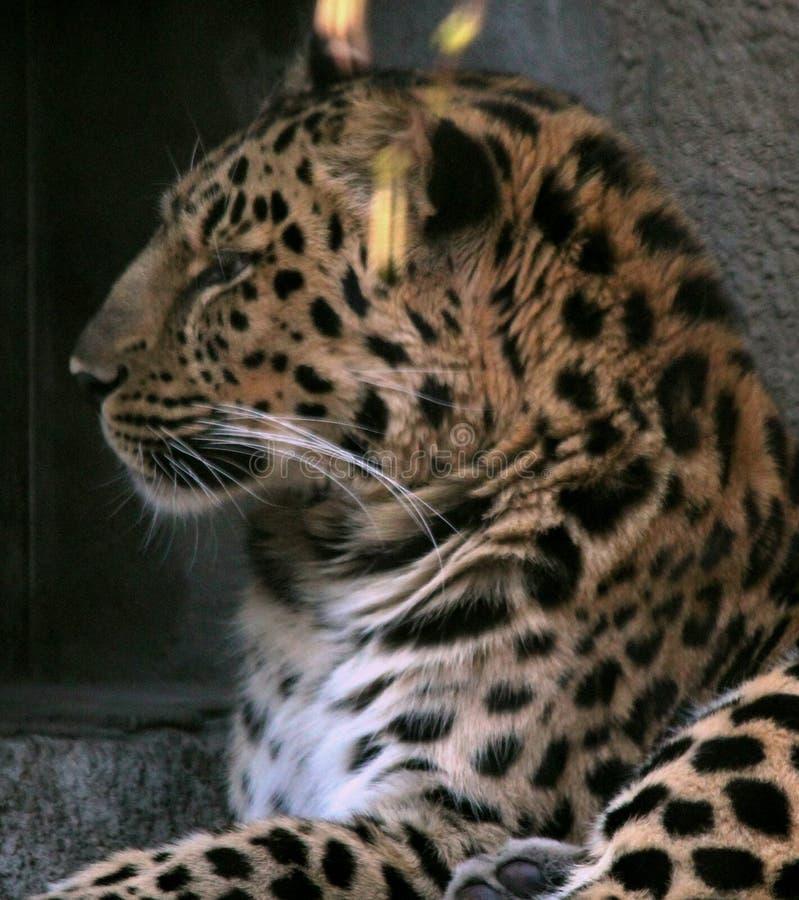Gu?pard dans une cage dans les mensonges de zoo photographie stock libre de droits