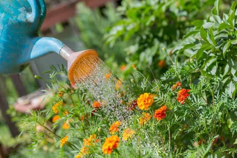 ?gua de derramamento ?s flores no jardim com lata molhando imagens de stock royalty free