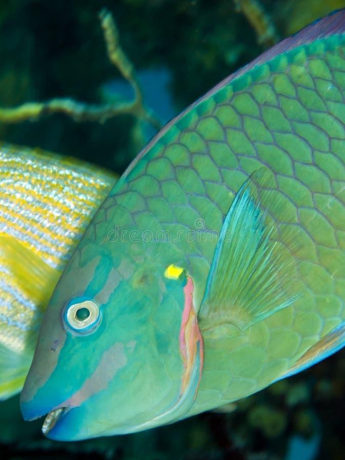 guacamaia parrotfish tęczy scarus fotografia stock