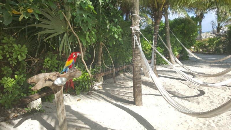 Guacamayas coloridos na praia imagens de stock royalty free