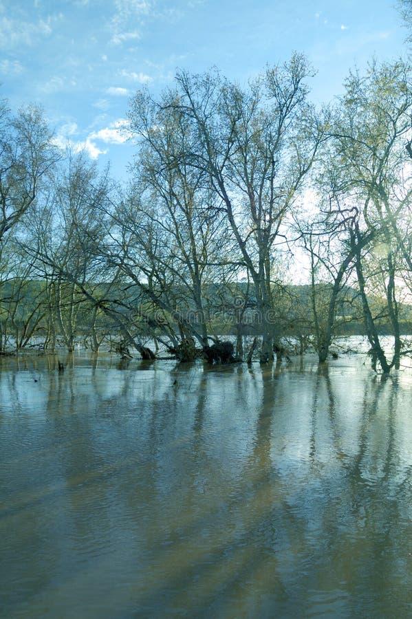 Guadalquivir River overflowed. Poplars in the Guadalquivir River overflowing stock photos