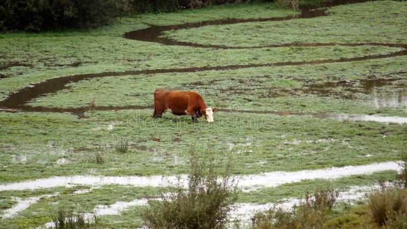 Guadalupe-Nipomo Duinen, CALIFORNIË, VERENIGDE STATEN - OCT 8, 2014: het vee of de koe op een mistige ochtend, legt moeras in CA  royalty-vrije stock afbeelding