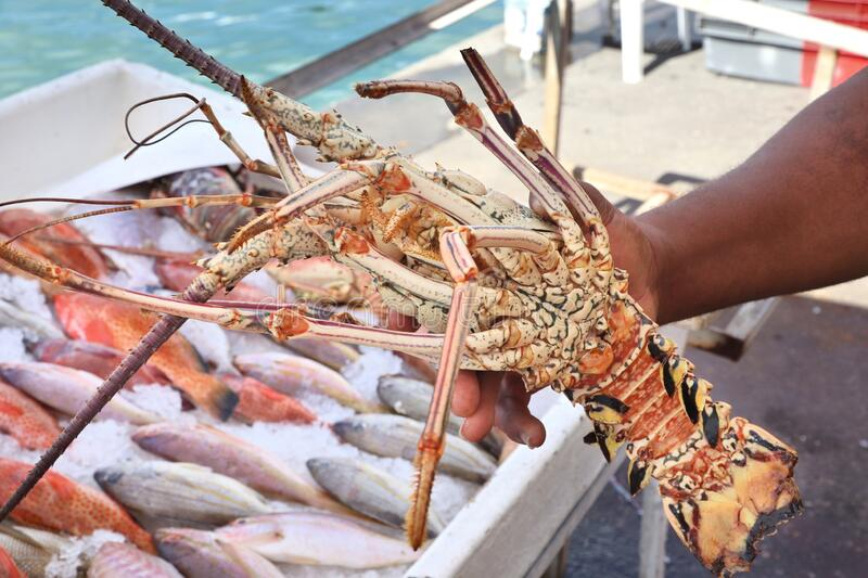 Spiny lobster langouste. Guadeloupe fish market in Pointe a Pitre, biggest city of Guadeloupe. Langouste (aka spiny lobster royalty free stock images