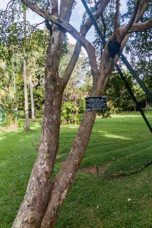 Guaiacum officinale boom in de Koninklijke Botanische Tuinen van Peradeniya dichtbij Kandy, Sri Lanka Het hout van deze boom is h royalty-vrije stock afbeeldingen