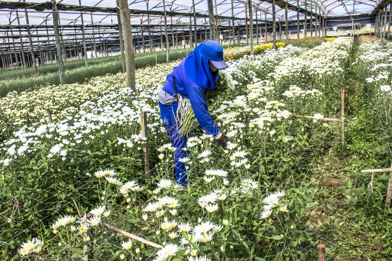 Workers are harvesting gérberas flowers in a greenhouse royalty free stock image