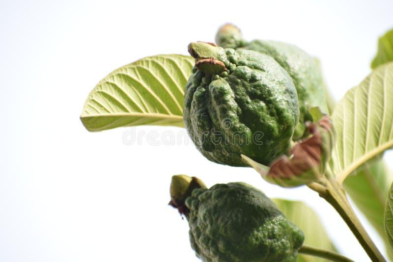 Guajava-Frucht stockfotografie