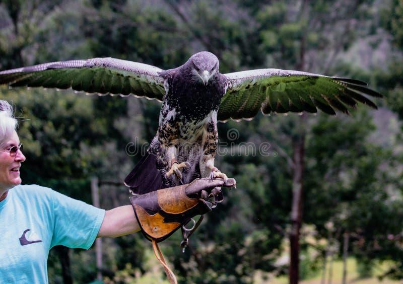 Gualaceo, Equateur/le 1er juin 2018 : Une femme tient un oiseau de la proie a photo libre de droits