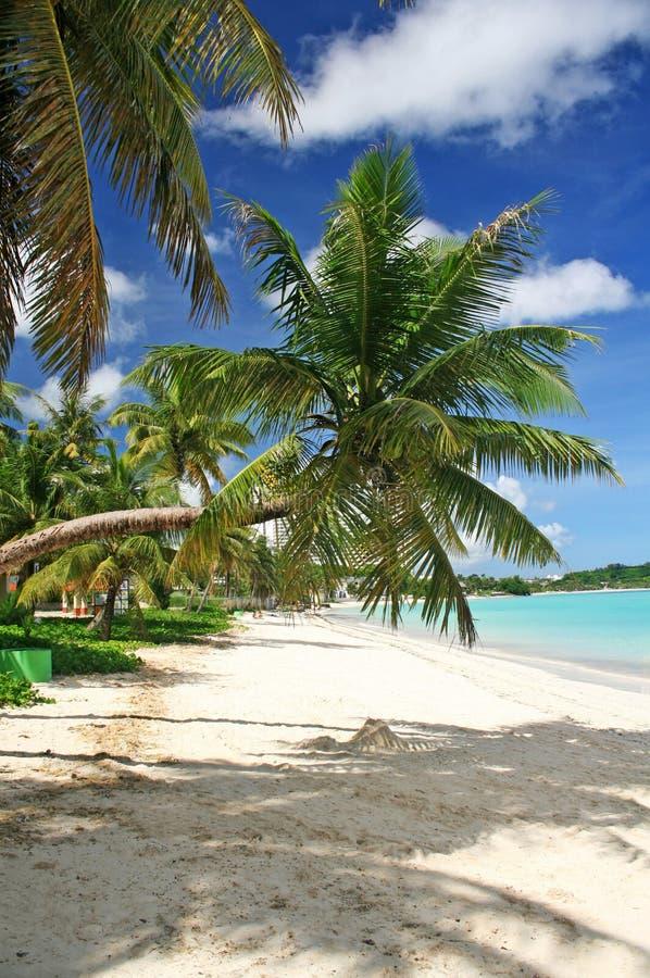 Guam bent coconut tree stock photo