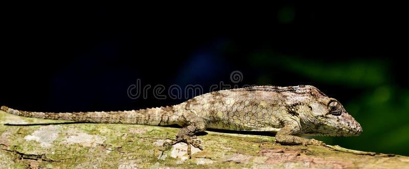 Guamuhaya för Anolis (Chamaeleolis) (Escambray skäggiga Anole) fotografering för bildbyråer