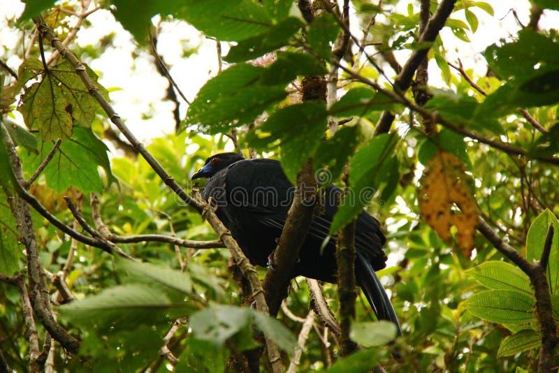 黑guan (单色的Chamaepetes) 库存照片