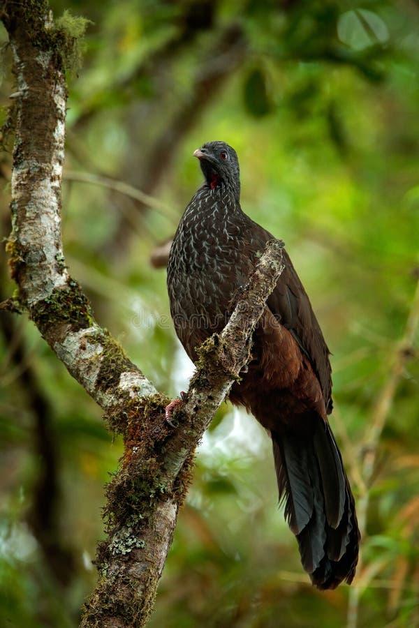 Guan Banda-atado, argyrotis de Penélope, pájaro raro de la montaña oscura de Santa Marta del bosque, Colombia El Birdwatching en  fotos de archivo