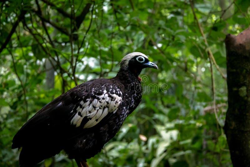 Guan ou Jacutinga tranquilo Preto-fronteado em Parque DAS Aves - Foz faz Iguacu, Parana, Brasil imagens de stock