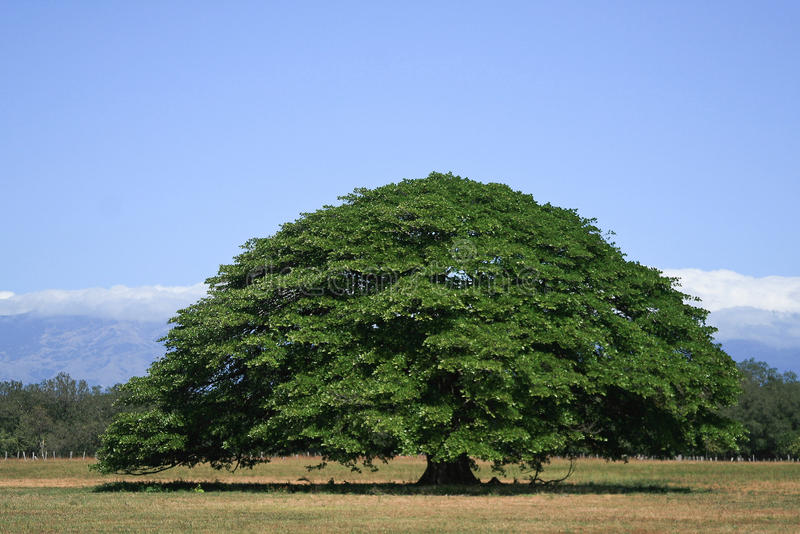 Guanacaste Tree stock photography