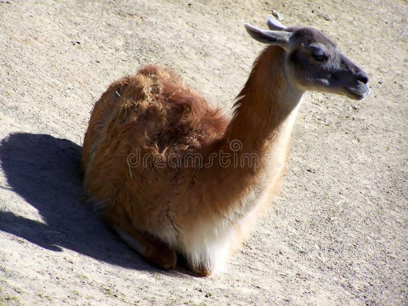 Download Guanaco Royalty Free Stock Image - Image: 14722766