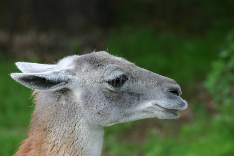 Download Guanaco Royalty Free Stock Photography - Image: 168477