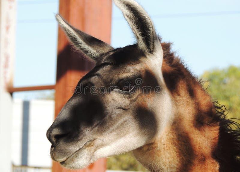 Guanaco royalty-vrije stock foto