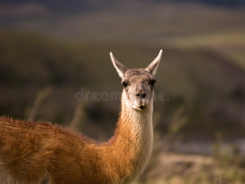 Download Guanaco stock photo. Image of bokeh, lama, south, wildlife - 5286954