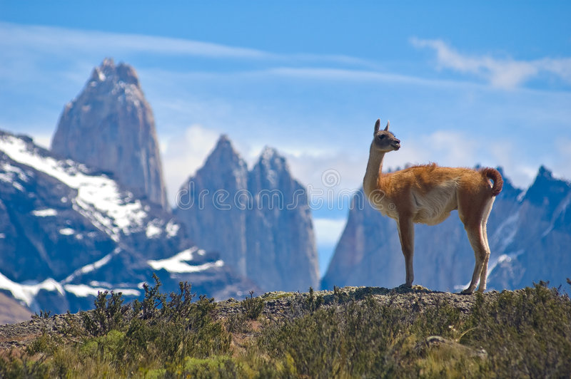 Guanaco. (Lama Guanicoe) admiring the Andes. Torres del Paine National Park, Patagonia, Chile