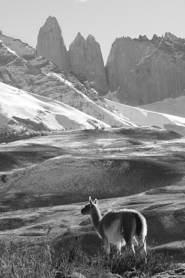 Guanaco adulte, Torres Del Paine National Park, Patagonia, Chili photographie stock libre de droits