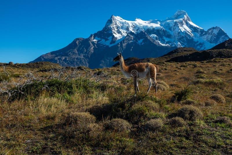 Guanaco che pasce con le montagne di Torres del Paine, parco nazionale, Cile nei precedenti fotografia stock libera da diritti