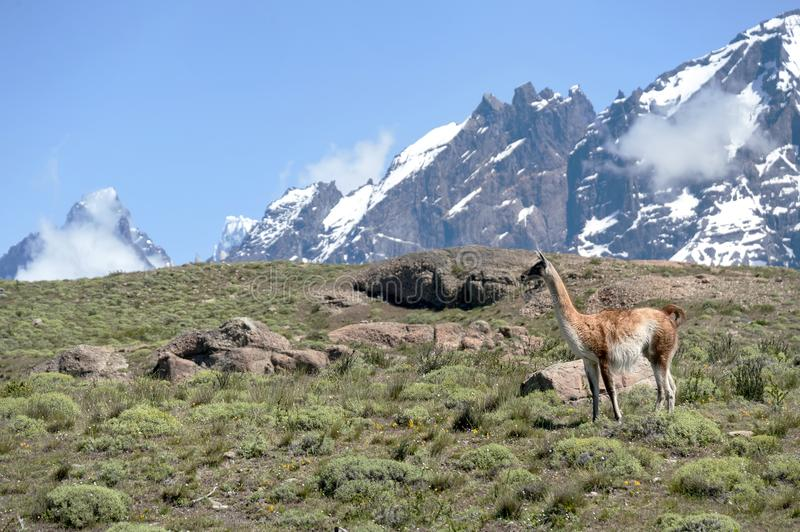 Guanaco in Chilean Patagonia. The guanaco Lama guanicoe is a camelid native to South America, here in Chilean Patagonia royalty free stock image