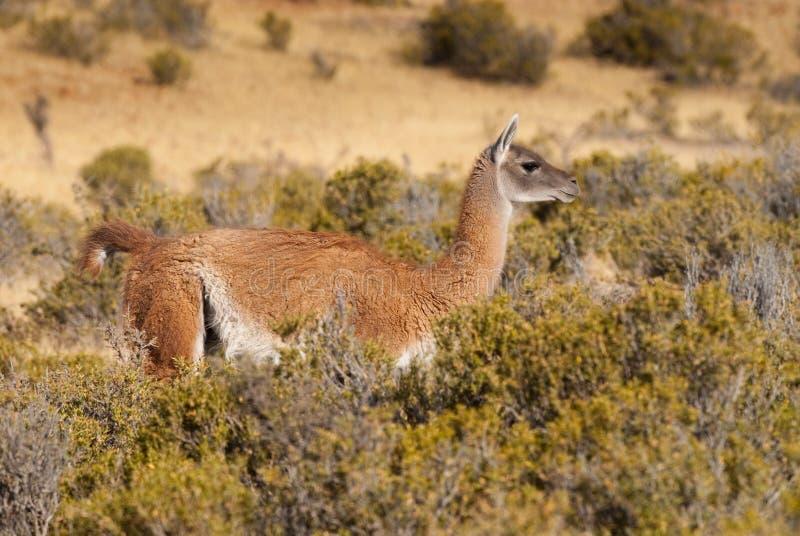 Guanaco dans le Patagonia photos stock