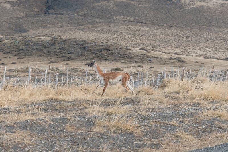 Guanaco dans Parque Nacional Torres del Paine au Chili photo libre de droits