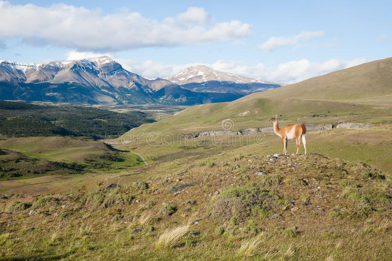 Guanaco de parc national de Torres del Paine, Chili images stock