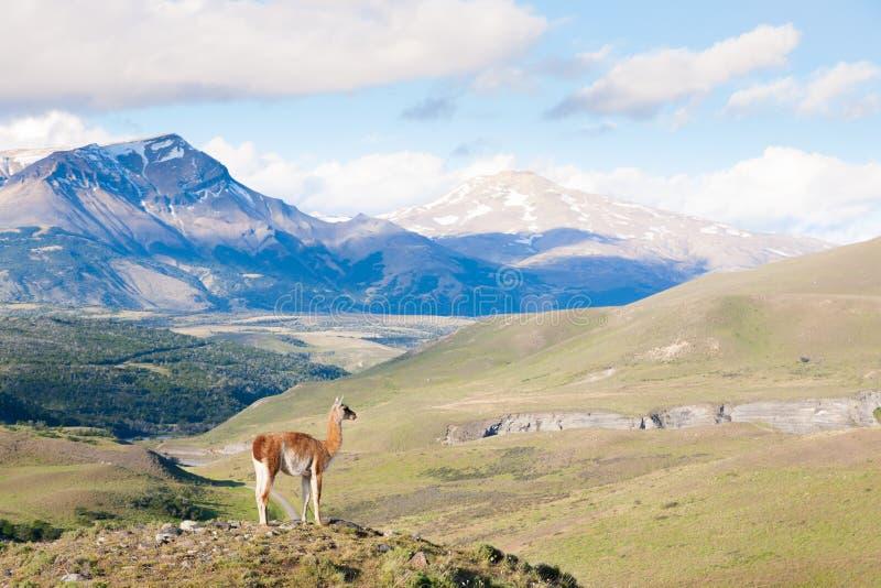 Guanaco de parc national de Torres del Paine, Chili photographie stock