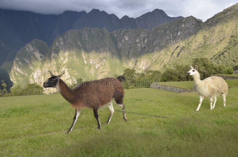 Guanaco e lama em Machu Picchu, Peru foto de stock