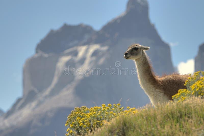 Guanaco em Torres del Paine, o Chile fotografia de stock