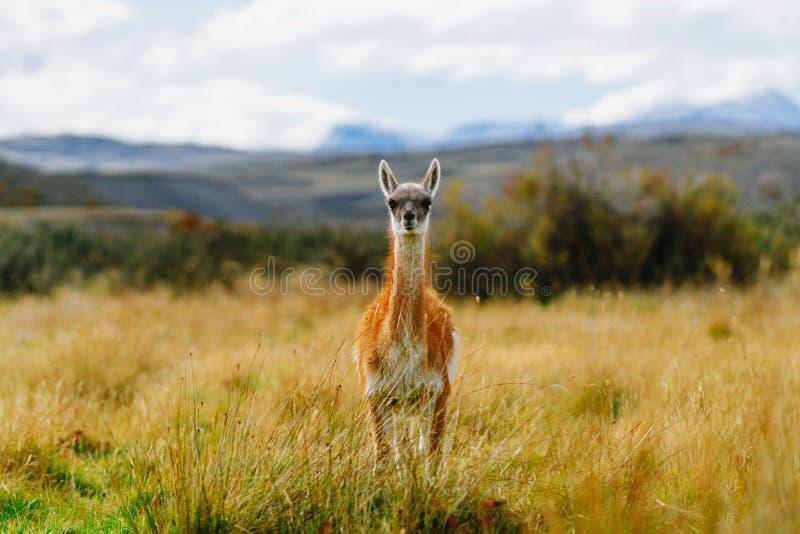 Guanaco en parc national de Torres del Paine Automne dans le Patagonia, le côté chilien photographie stock