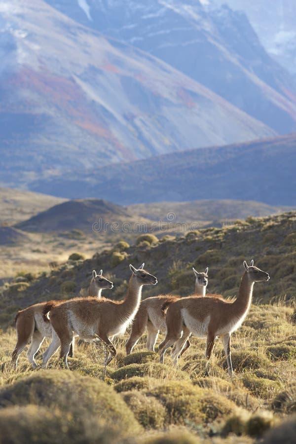 Guanaco en parc national de Torres del Paine, Chili photo libre de droits