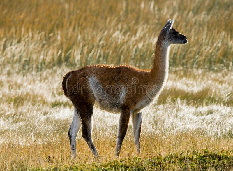 Guanaco en stationnement national Torres del Paine chile patagonia image stock