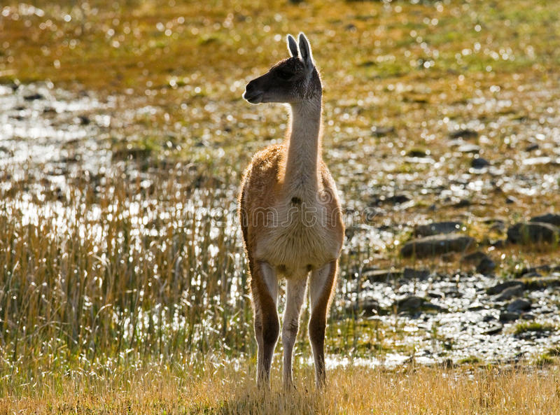 Guanaco en stationnement national Torres del Paine chile patagonia images stock