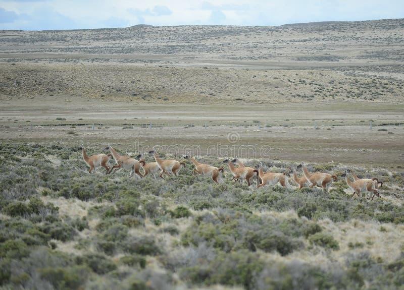 Guanaco en Tierra del Fuego photo stock