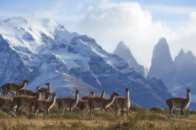 Guanaco en Torres del Paine, Chili photo stock