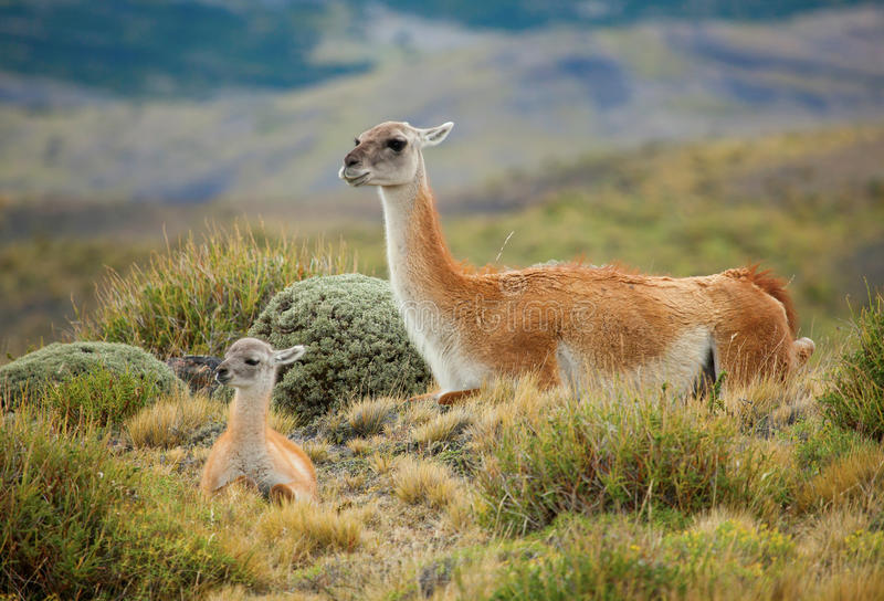 Guanaco family. In Torres del Paine national park, Chile, South America stock photos