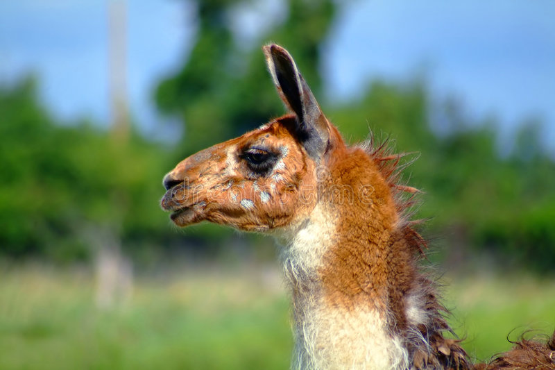 guanaco head royalty free stock images