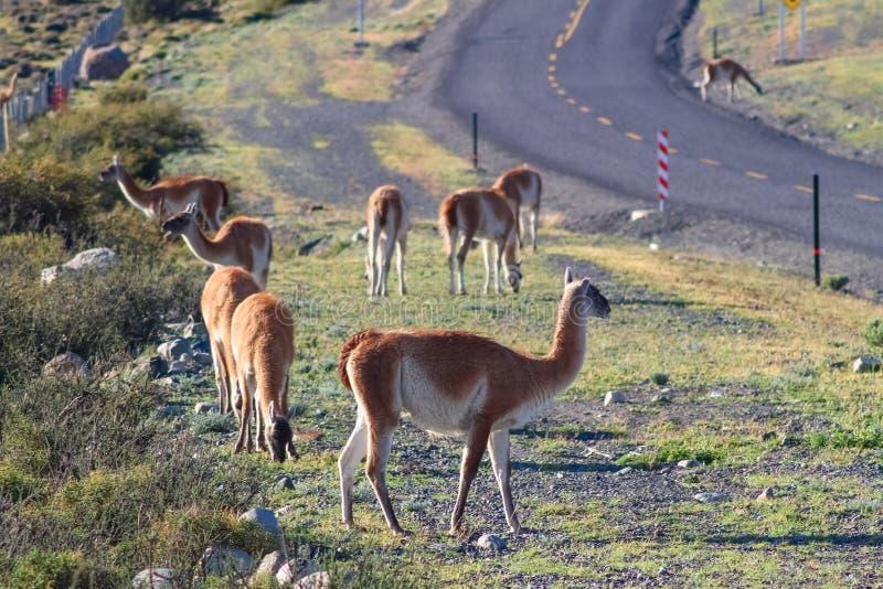 Guanaco in het Torres del Paine National Park De herfst in Patagon stock fotografie