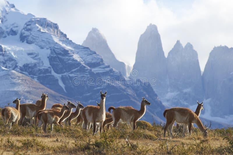 Guanaco i Torres del Paine, Chile royaltyfria foton