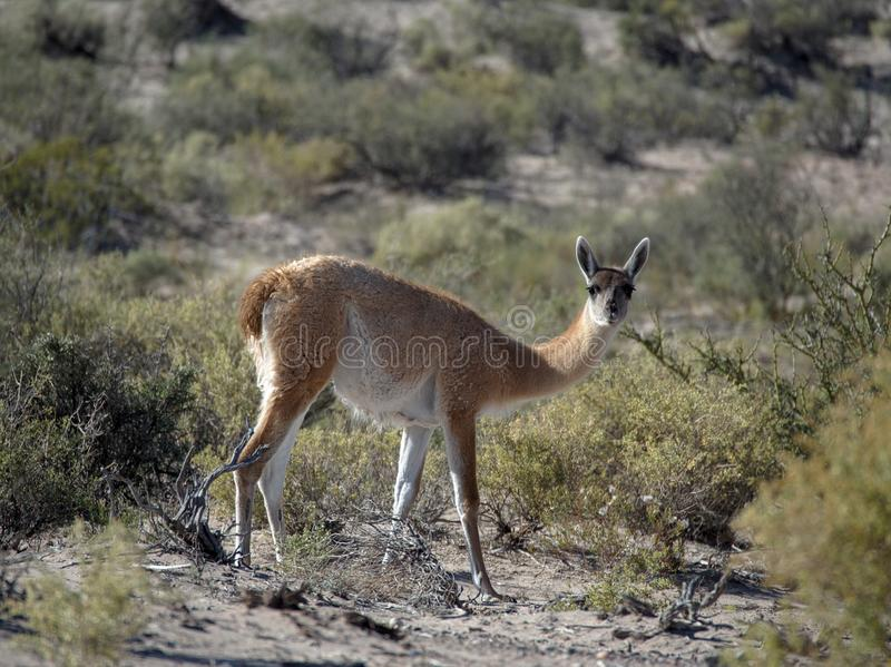 A guanaco at Ischigualasto Provincial Park, San Juan, Argentina. The park is also called Valle de la Luna `Valley of the Moon` or `Moon Valley stock images