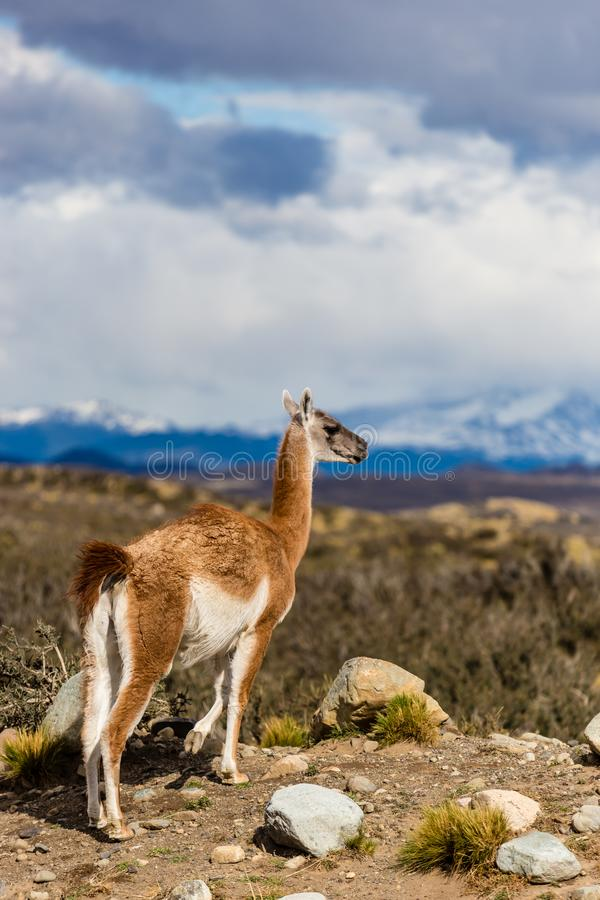 Guanaco, Lama Guanicoe, admirant les Andes Stationnement national de Torres del Paine, Patagonia, Chili photo stock