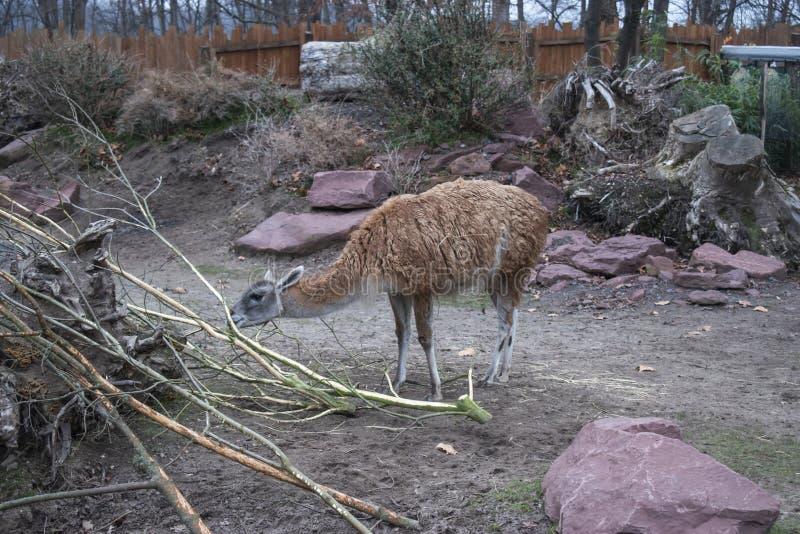 Guanaco & x28;Lama guanicoe. Guanaco grazing at a German Zoo, natural, alpaca, nature, mammals, camelidae, ungulate, beauty, background, animal, wildlife, llama stock images