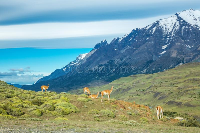 Guanaco lamas in national park Torres del Paine mountains, Patagonia, Chile, America royalty free stock photography